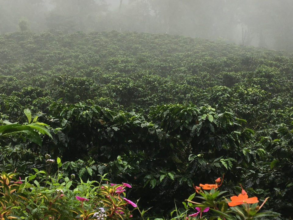Coffee plants on a misty slope