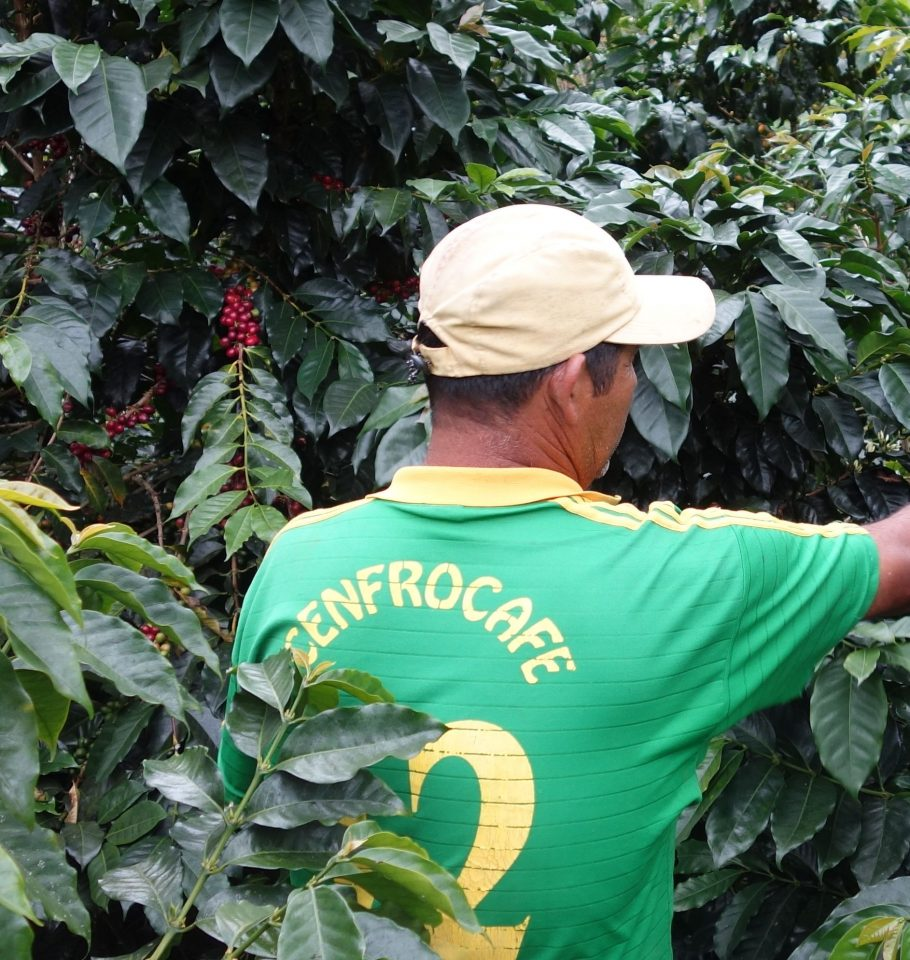 Picking coffee cherries on a Cenfrocafe farm