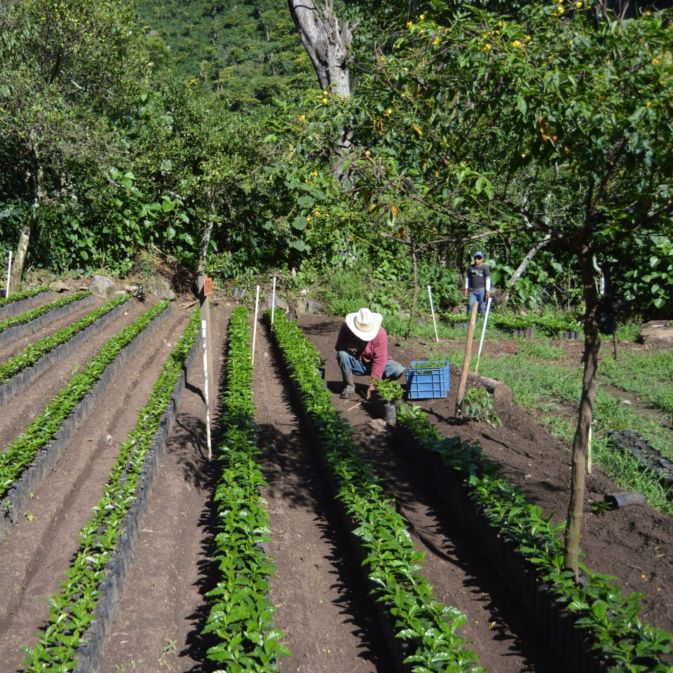 Coffee seedlings at Guatemala La Bolsa