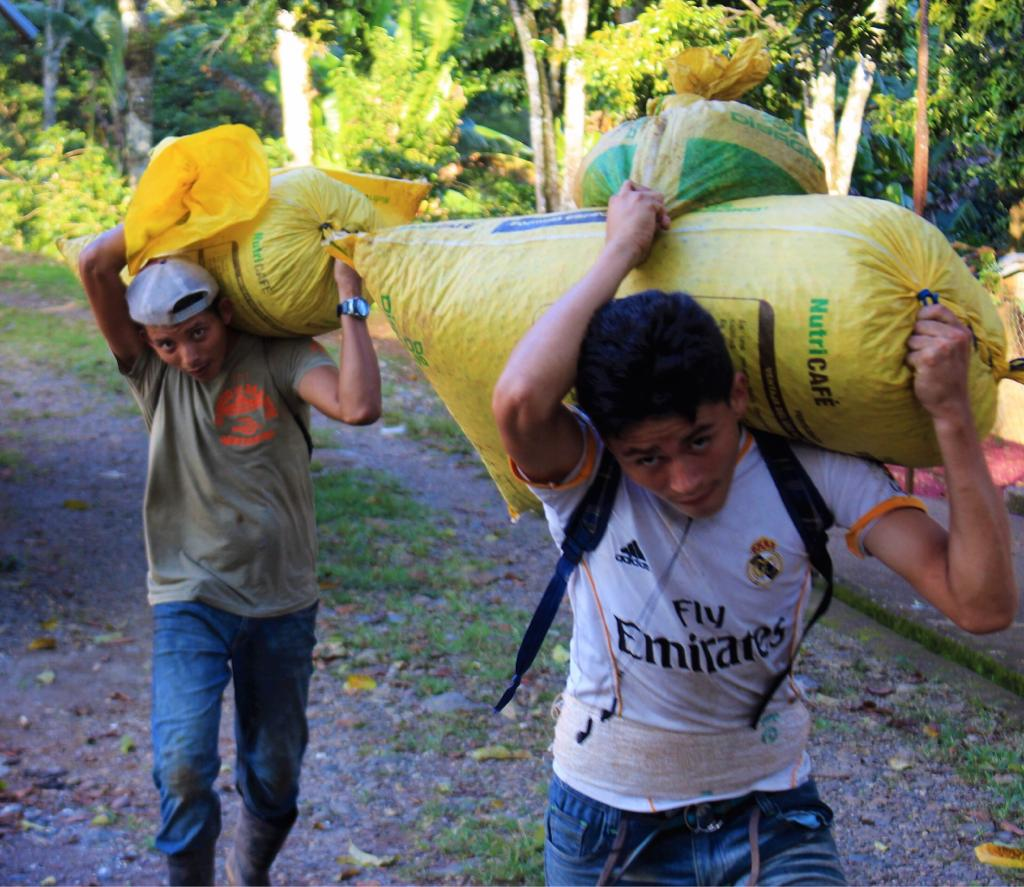 Workers collecting coffee on Finca Ruland 2