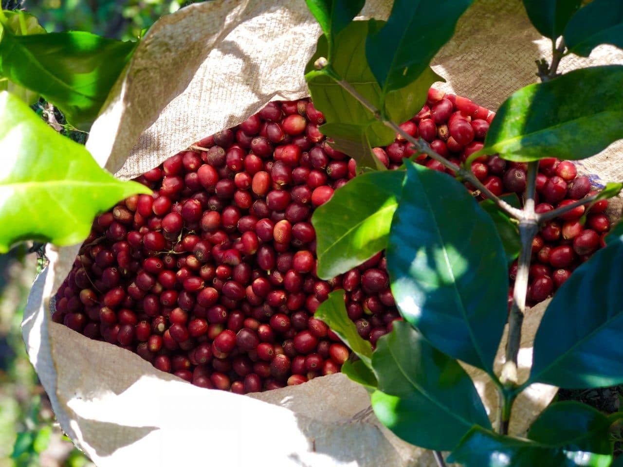 Ripe cherries on Finca Ruland