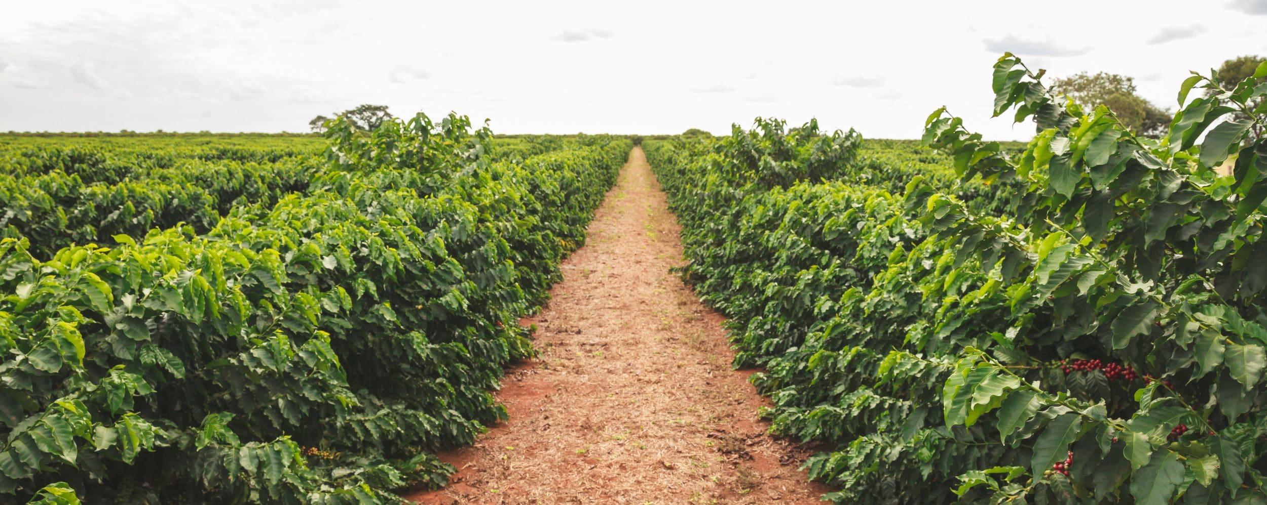 Coffee trees on the Veloso farm