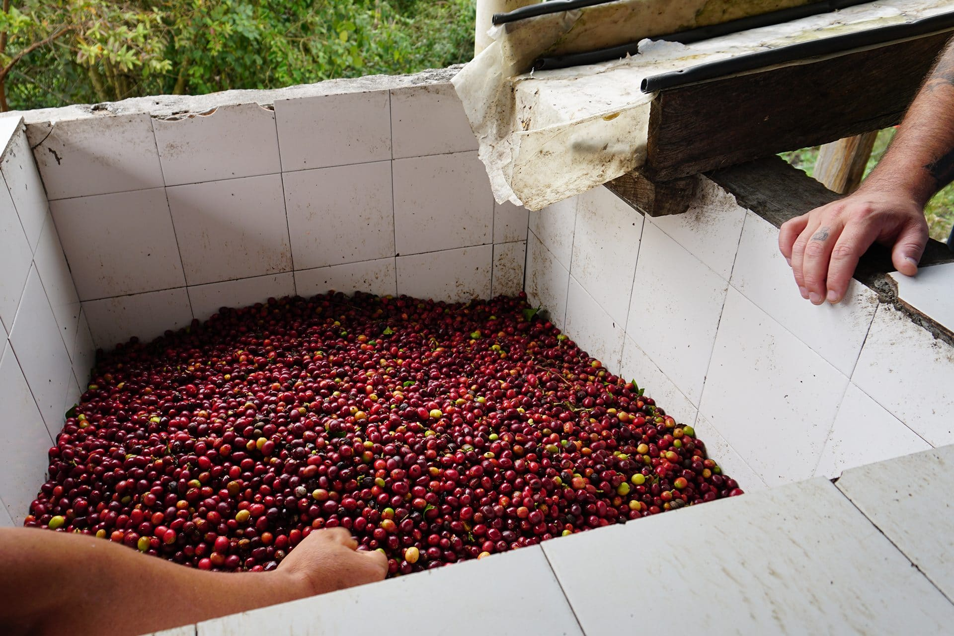 Ripe cherries in a tank on the Guarnizo family farm
